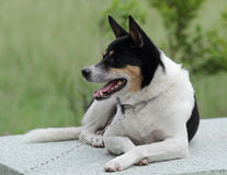 Gemengde rassenhond. Stock Fotografie