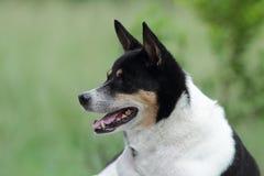 Gemengde rassenhond. Royalty-vrije Stock Foto's