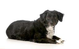Gemengde rassenhond Royalty-vrije Stock Foto's