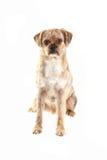 Gemengde rassenhond Stock Afbeeldingen