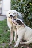 Gemengde rassenhond en Engelse buldog Stock Foto