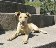 Gemengde rassenhond neer Stock Afbeeldingen