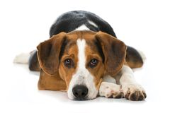 Gemengde rassenhond op witte achtergrond Stock Foto's