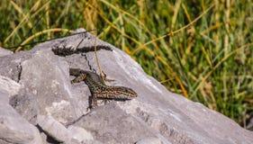 Gemensam ödla, Picos de Europa, Asturias, Spanien 3 arkivfoton
