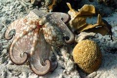 Gemensam bläckfisk Arkivbilder