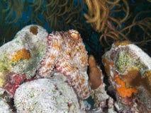 Gemensam bläckfisk som försöker att blanda in i bakgrunden under, genom att ändra dess färg och textur, Bonaire, holländare Antil arkivfoton