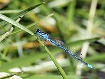 Gemensam blå Damselfly fotografering för bildbyråer
