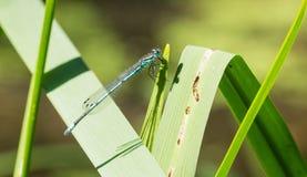 Gemensam blå Damselfly på gräs arkivbild