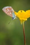 Gemensam blå kvinnlig (Polyommatus icarus) Arkivfoton