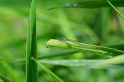 Gemensam blå manlig slända (damselflyen) Royaltyfri Fotografi