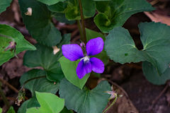 Gemensam blå Violet - altfiolsororia Arkivbilder