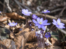 Gemensam Blåsippa-Liverwort (blåsippanobilis) Royaltyfria Bilder