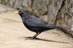 Gemensam Blackbird Royaltyfri Bild
