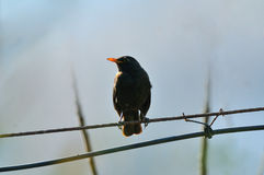 Gemensam Blackbird Royaltyfria Bilder