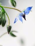 gemensam blomma för borage Fotografering för Bildbyråer