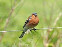Gemensam bofink (Fringillacoelebs) Fotografering för Bildbyråer