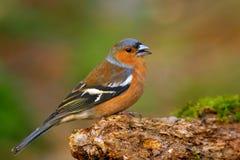 Gemensam bofink (Fringillacoelebs) Royaltyfria Bilder