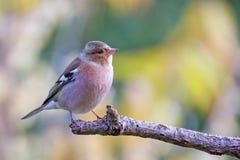 Gemensam bofink (Fringillacoelebs) på en filial Arkivfoton
