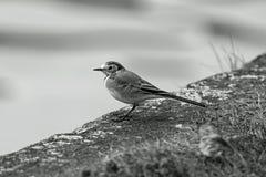 Gemensam bofink i profil Arkivbilder