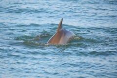 Gemensam bottlenosedelfin som visar den rygg- fena Royaltyfria Foton