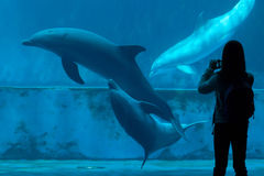 Gemensam bottlenosedelfin (Tursiopstruncatusen) Arkivfoto