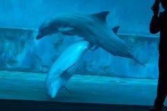Gemensam bottlenosedelfin (Tursiopstruncatusen) Royaltyfri Fotografi