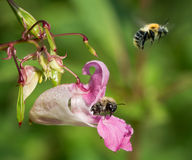 Gemensam carderhumla (Bombuspascuorum) på Himalayan balsam Royaltyfria Bilder