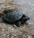 Gemensam Chelydraserpentina för låsande fast sköldpadda Arkivfoto
