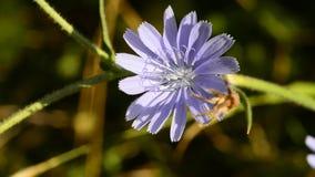 Gemensam cikoria, Cichoriumintybus, blomma stock video