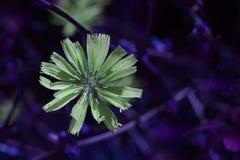Gemensam cikoria - selektiv fokus - konstnärlig ultraviolett backgro royaltyfri bild