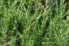 Gemensam Citril Damselfly som döljer i vegetationceriagrionglabrum royaltyfria foton