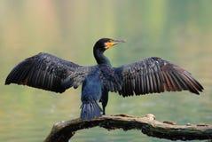gemensam cormorant Fotografering för Bildbyråer