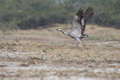 Gemensam Crane Grus grus som tar av arkivfoto
