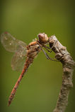gemensam darter draonfly royaltyfri foto