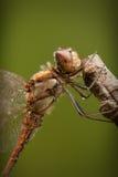 gemensam darter draonfly fotografering för bildbyråer