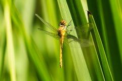 Gemensam Darterslända på gräs fotografering för bildbyråer