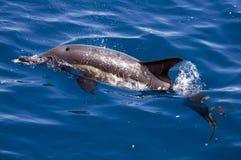 gemensam delfin Arkivfoto