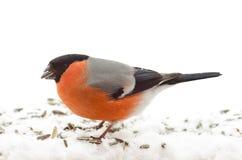 Gemensam domherre för fågel (Pyrrhulapyrrhulaen) Fotografering för Bildbyråer