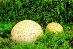 Gemensam earthballSclerodermacitrinum Royaltyfria Bilder