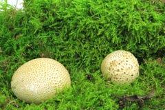 Gemensam earthballSclerodermacitrinum Royaltyfria Foton