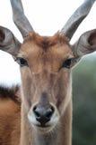 gemensam eland royaltyfria foton
