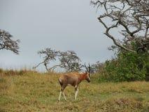 gemensam eland Royaltyfri Fotografi