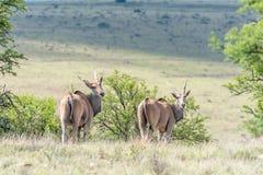 Gemensam eland två Arkivbild