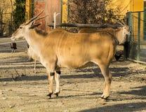 gemensam elandoryxantiloptaurotragus Arkivbilder