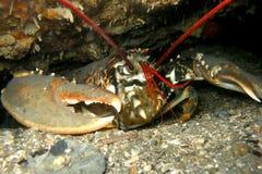 Gemensam europeisk hummer som är undervattens- i en grotta Arkivbild