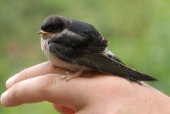 Gemensam fågel för hussvala (Delichonurbicumen) Royaltyfria Bilder