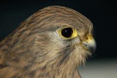 gemensam falcotornfalktinnunculus Fotografering för Bildbyråer