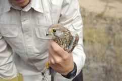 gemensam falcotornfalktinnunculus royaltyfri foto