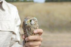 gemensam falcotornfalktinnunculus royaltyfri fotografi