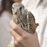 gemensam falcotornfalktinnunculus arkivbilder